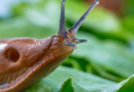 Schnecken – Zwischenwirt für tödliche Parasiten